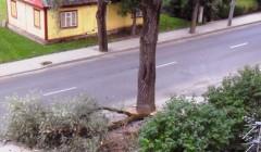 Kupiškėnus gąsdina sutręšę medžiai