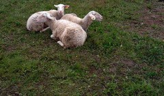 Kol avys lauke, išlieka rizika būti užpultoms