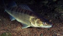 Draudžiama žvejoti sterkius, kiršlius, lydekas ir lietuviškus vėžius