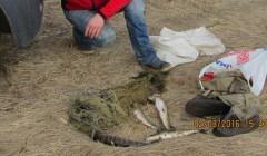 Gamtosaugininkai brakonierių paleido be bridkelinių…