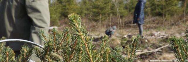 Nacionalinis miškasodis – šventė, nors ir ne visur gausi