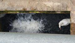 Kavarsko gyventojai turi rūpesčių: užtvankoje įstrigo gulbė