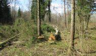 Kupiškio rajono Čižovkos miško beržas mirtinai sužalojo rokiškėną