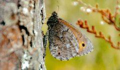 Verslininkus ir aplinkosaugininkus sutaikė drugelis pelkinis satyras