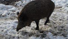 Trumpai: Kupiškio rajone – trys afrikinio kiaulių maro atvejai