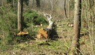 Noriūnų seniūnijoje pasikartojo nelaimė: griūdamas nupjautas medis mirtinai sužalojo žmogų
