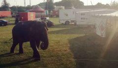 Rokiškėnai planuoja drausti pasirodymus cirkams, jei jie naudoja laukinius gyvūnus