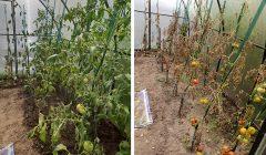 Trumpai: Obeliuose jau antrą sodybą kažkas nupurškia herbicidais