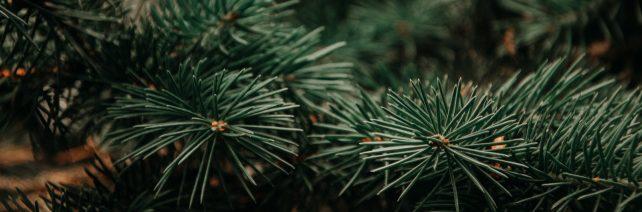 Miškininkai sodininkams ir daržininkams pradeda dalinti eglių šakas